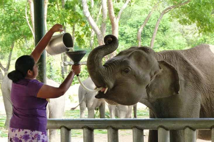 Elephant Milk Feeding