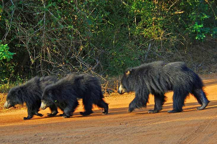 Sloth bear in yala