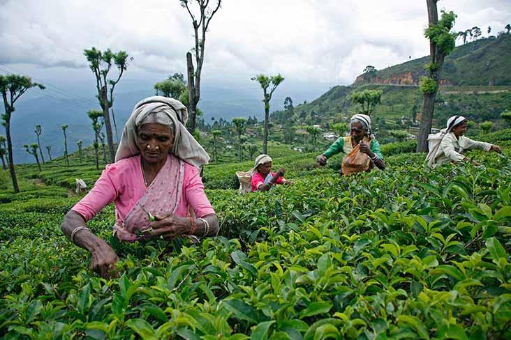 Tea Factory and Tea Plantation