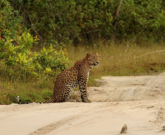 Leopard in Yala